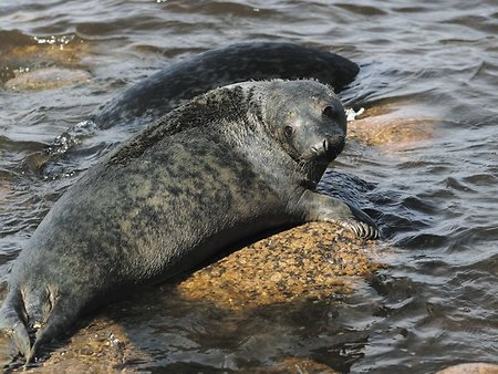 Baltic fleet hydrographers save gray seal cub